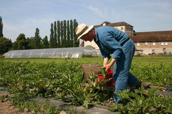Récolte au jardin potager